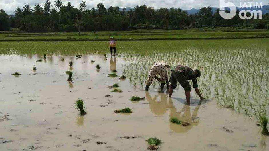 Musim Penghujan, Babinsa Bantu Petani Tanam Padi